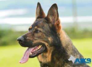 A1K9 family protection dog Dora