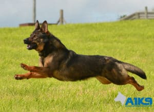 A1K9 Family protection dog Dora running