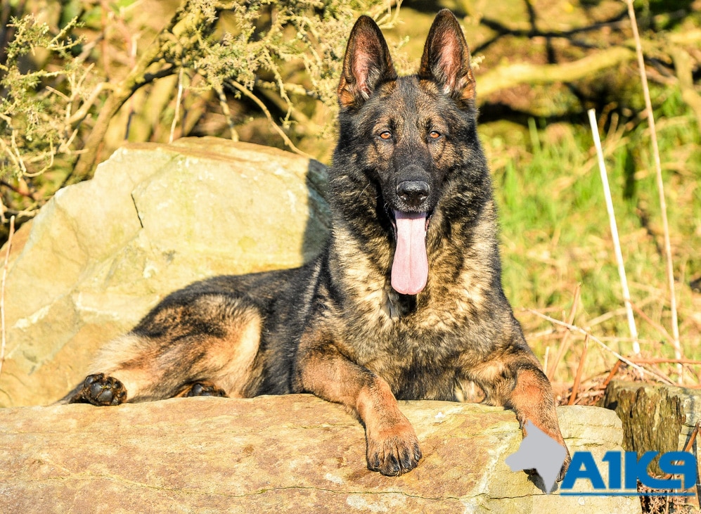 A1K9 personal Protection dog Izzo lying down
