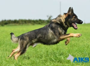 A1K9-Family-Protection-Dog-Aggi-Run-7431