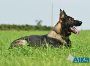 A1K9-Family-Protection-Dog-Agi-Down-7392