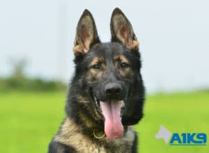 A1K9-Family-Protection-Dog-Agi-Head-7410