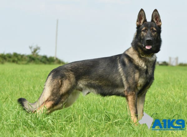 A1K9-Family-Protection-Dog-Agi-Stand-7404