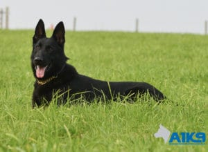 A1K9 Family Protection Dog Aris Down