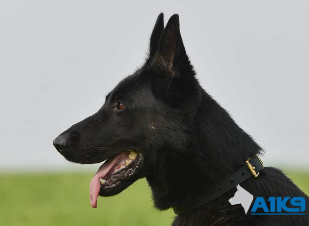 A1K9-Family-Protection-Dog-Aris-Head-7153