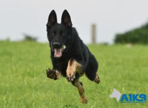 A1K9 Family Protection Dog Aris Running