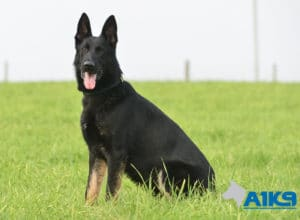 A1K9-Family-Protection-Dog-Aris-Sit-7149