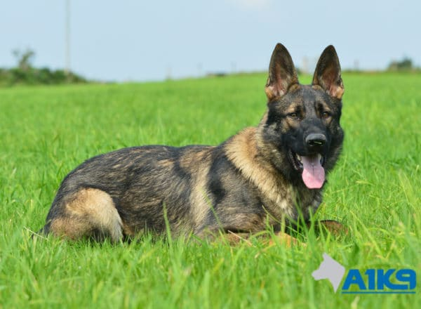 A1K9-Family Protection Dog Bax Down