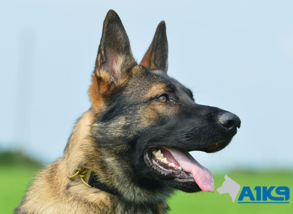 A1K9 Family Protection Dog Bax Head