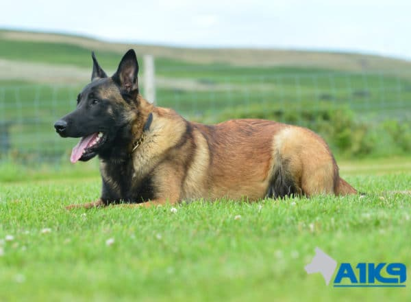 A1K9 Family Protection Dog Casper Down