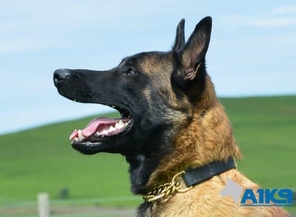 A1K9 Family Protection Dog Casper Head