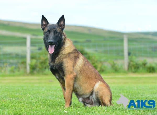 A1K9 Family Protection Dog Casper Sit