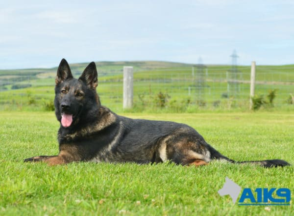 A1K9-Family Protection Dog Darcie Down