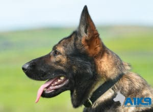 A1K9-Family Protection Dog Darcie Head