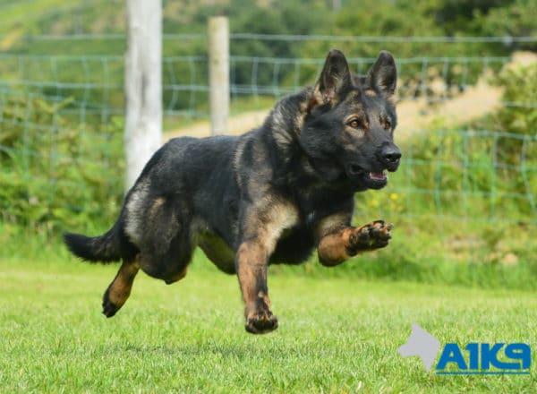 A1K9 Family Protection Dog Darcie Run