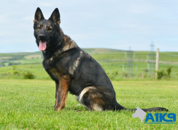 A1K9 Family Protection Dog Darcie Sit