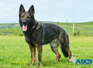 A1K9 Family Protection Dog Darcie Stand