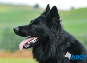 A1K9-Family Protection Dog Hart Head