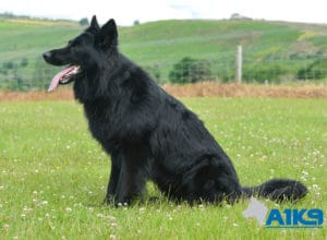 A1K9-Family Protection Dog Hart Sit