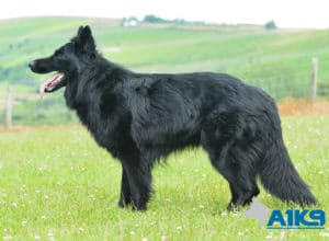 A1K9-Family Protection Dog Hart Stand