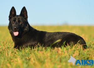 A1K9 Family Protection Dog Kira Down