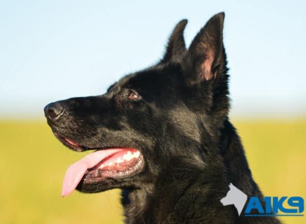 A1K9 Family Protection Dog Kira Head