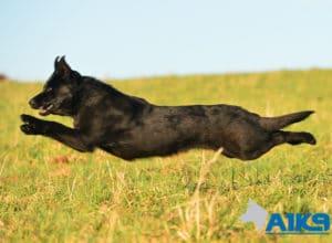 A1K9 Family Protection Dog Kira Run