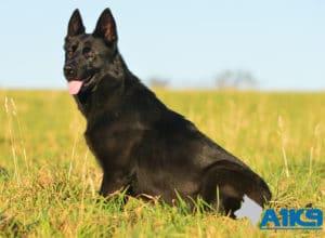 A1K9 Family Protection Dog Kira Sit