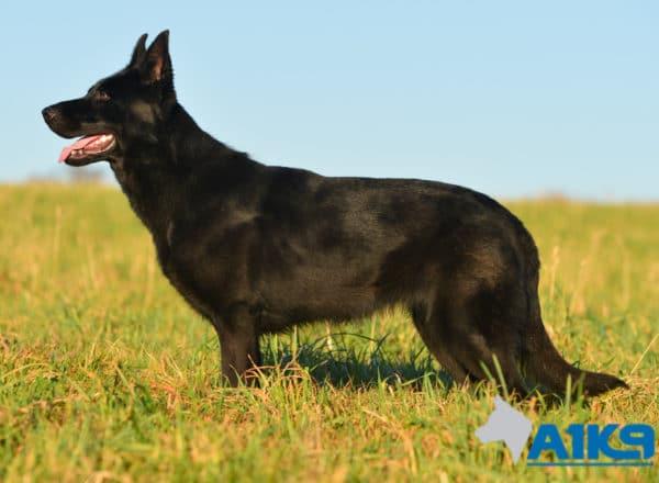 A1K9 Family Protection Dog Kira Stand