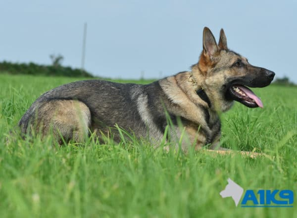 A1K9 Family Protection Dog Largo Down