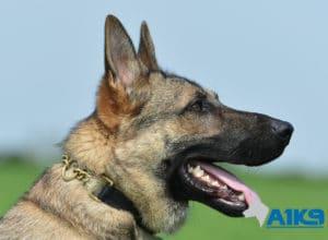 A1K9 Family Protection Dog Largo Head
