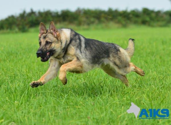 A1K9 Family Protection Dog Largo Run
