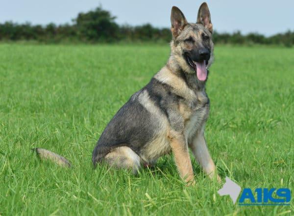 A1K9 Family Protection Dog Largo Sit