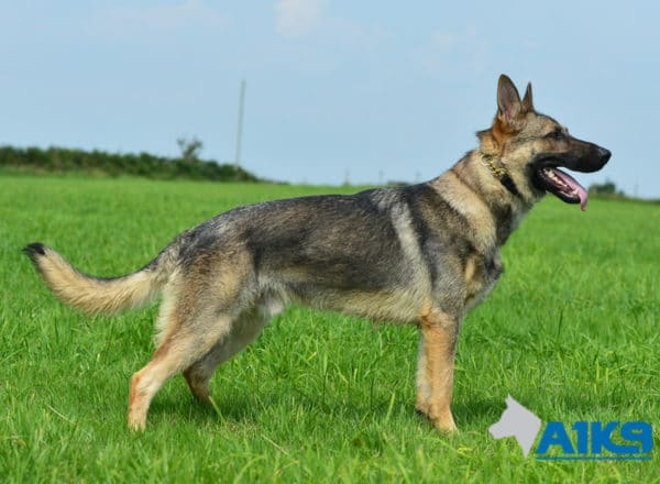 A1K9 Family Protection Dog Largo Stand