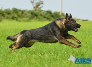 A1K9 Family Protection Dog Mishka Run
