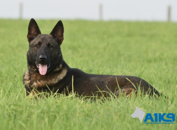 A1K9 Family Protection Dog Nico Down