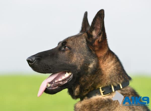 A1K9 Family Protection Dog Nico Head