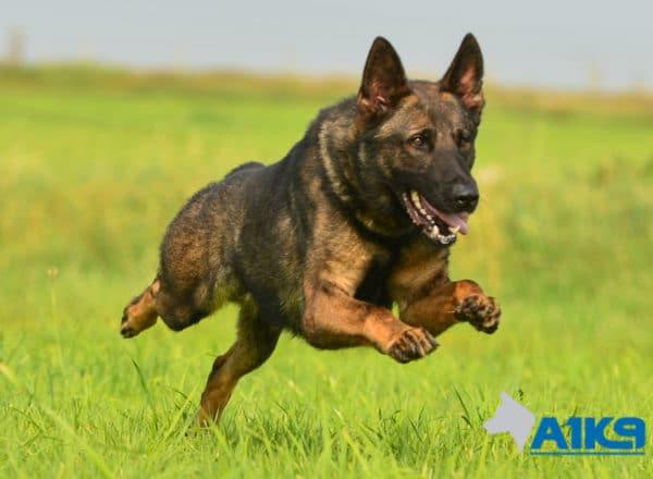 A1K9 Family Protection Dog Nico Run