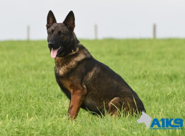A1K9 Family Protection Dog Nico Sit