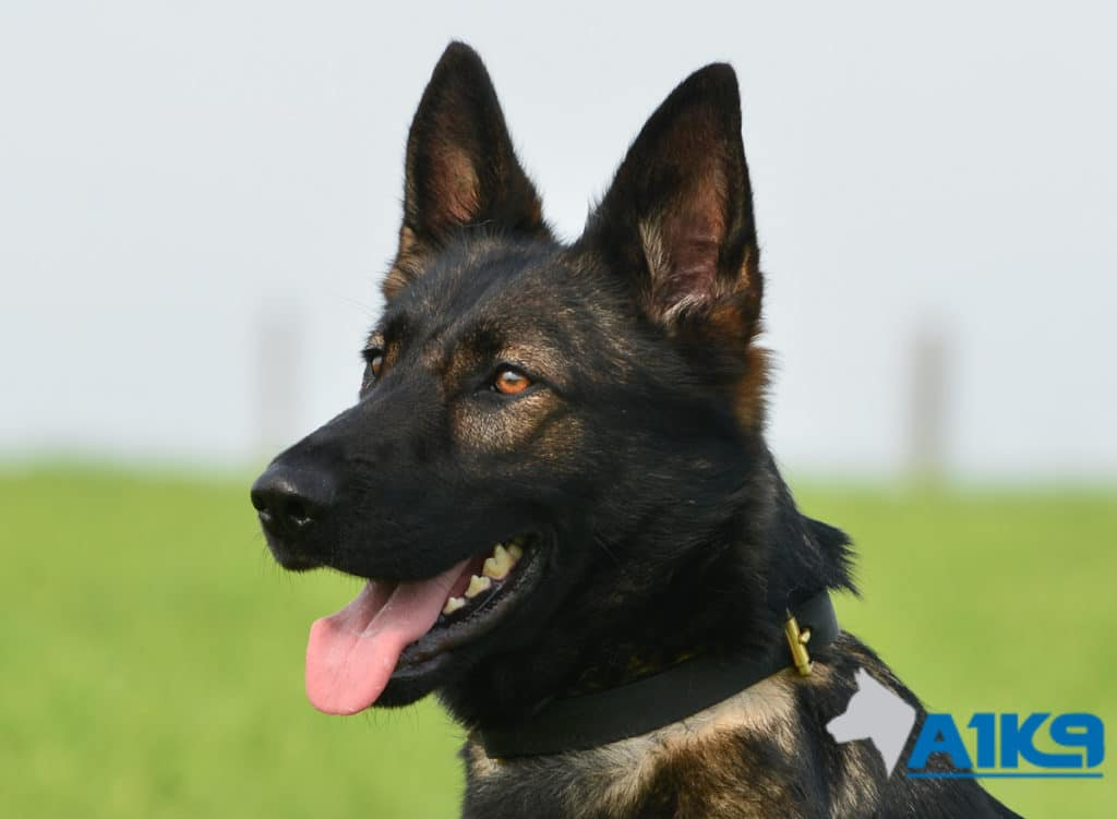A1K9 Family Protection Dog Raki Head