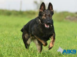 A1K9 Family Protection Dog Raki Run