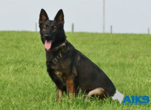 A1K9 Family Protection Dog Raki Sit