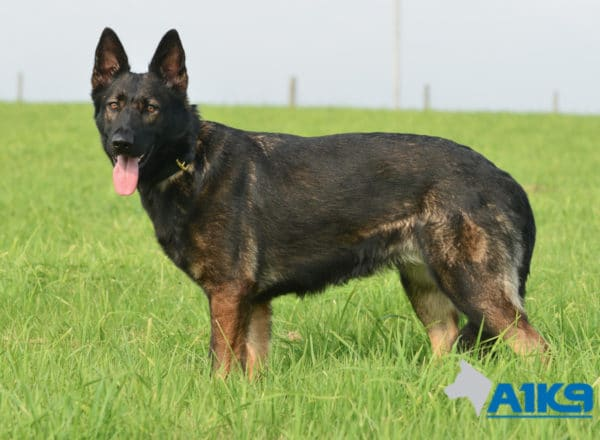 A1K9 Family Protection Dog Raki Stand