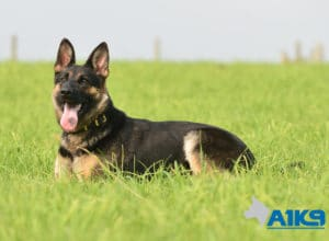 A1K9 Family Protection Dog Sally Down