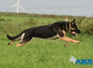 A1K9 Family Protection Dog Sally Run