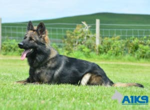 A1K9 Family Protection Dog Vana Down