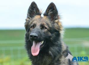 A1K9 Family Protection Dog Vana Head