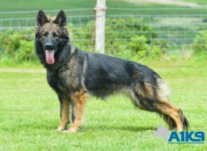A1K9 Family Protection Dog Vana Stand