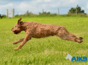 A1K9 Obedience Trained Dog Pierre Running