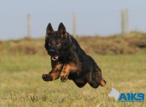 A1K9 Family Protection Dog Athos Run